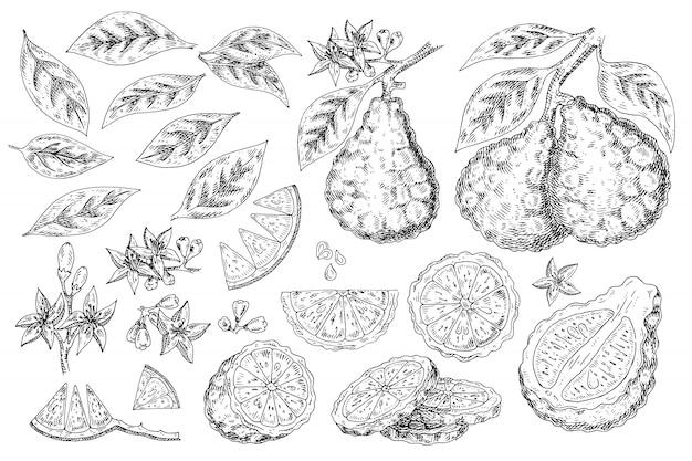 Citrusvruchten bergamot hand getrokken voedsel. Premium Vector