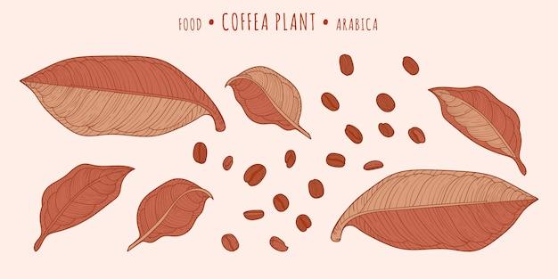 Coffea plant. koffiebonen en bladeren Premium Vector