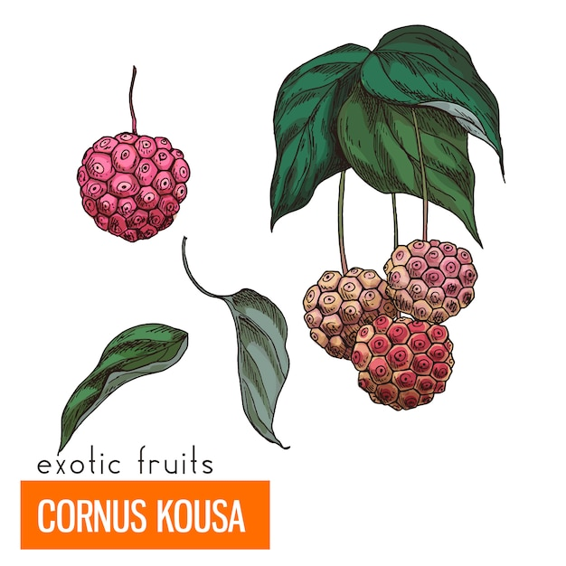 Cornus kousa. kleur vectorillustratie. Premium Vector