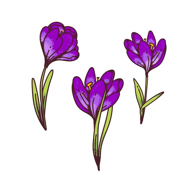 Crocus lila saffraan bloemen lente primula's instellen voor ontwerp wenskaart. overzicht schets illustratie Premium Vector