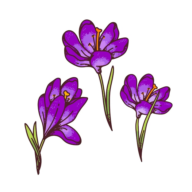 Crocus paarse bloemen lente primula's instellen voor ontwerp wenskaart. overzicht schets illustratie Premium Vector