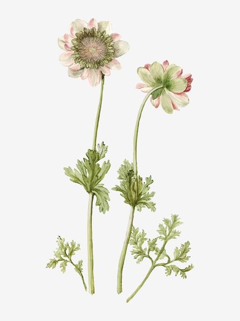 De anemone green knight vintage illustratie Gratis Vector