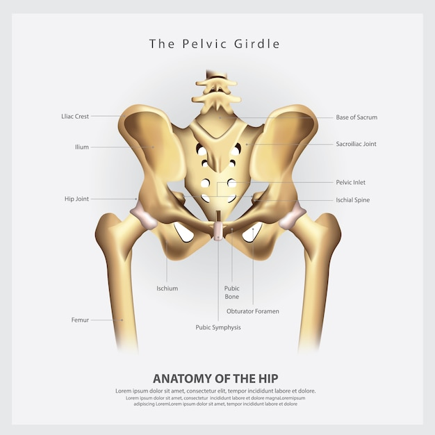 De bekkengordel van de menselijke vector van het beenbeenanatomie Premium Vector