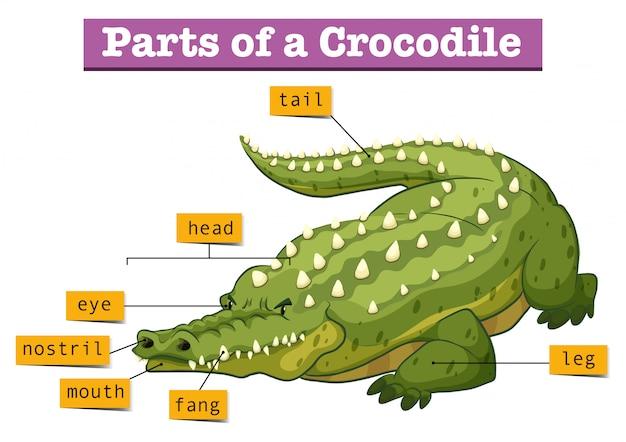 Diagram dat delen van krokodil toont Gratis Vector
