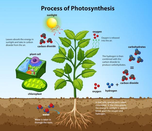 Diagram dat het fotosyntheseproces met planten en cellen toont Gratis Vector