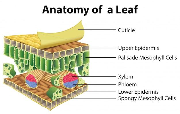 Diagram met anatomie van een blad Gratis Vector