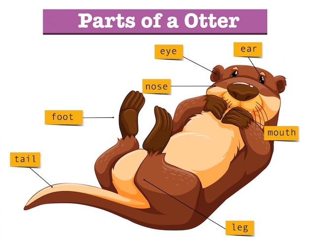 Diagram met delen van de otter Premium Vector
