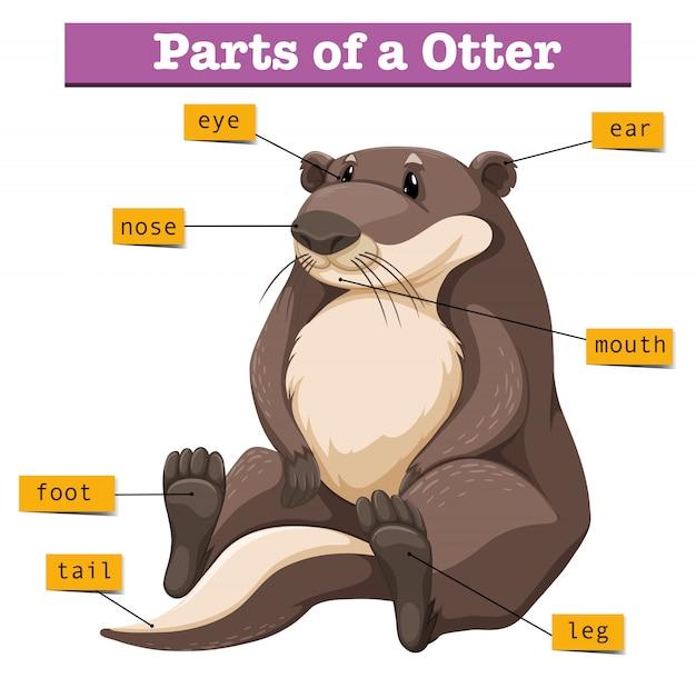 Diagram met delen van de otter Gratis Vector