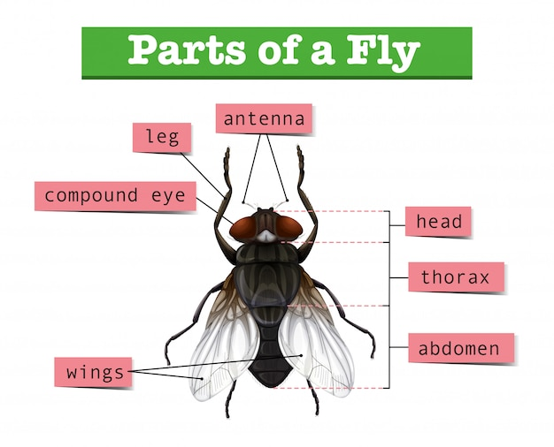 Diagram met delen van de vlieg Gratis Vector