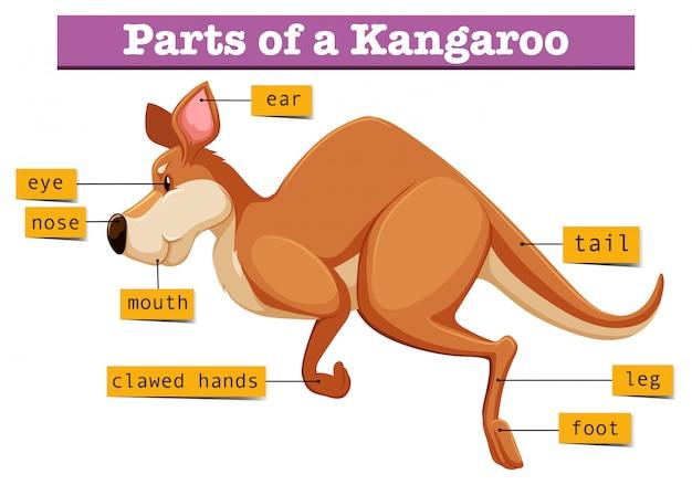 Diagram met delen van kangoeroe Gratis Vector