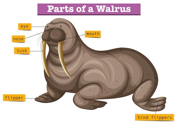 Diagram met delen van walrussen Gratis Vector