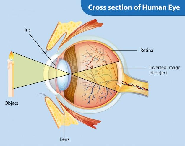 Diagram met dwarsdoorsnede van het menselijk oog Gratis Vector