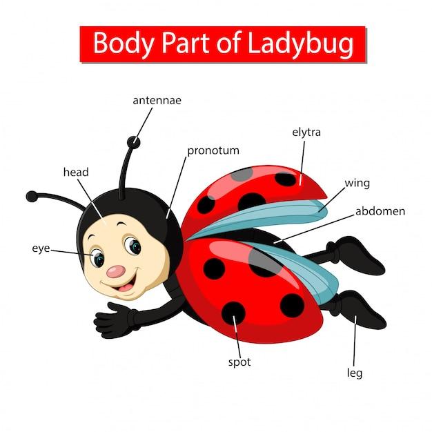 Diagram met lichaamsdeel van lieveheersbeestje Premium Vector