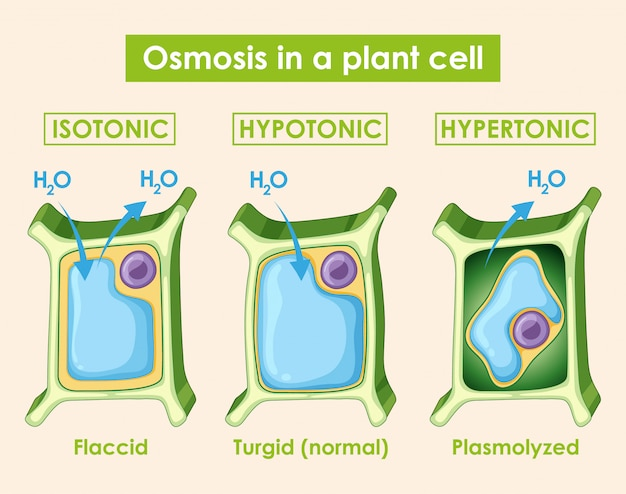 Diagram met osmose in plantencel Gratis Vector