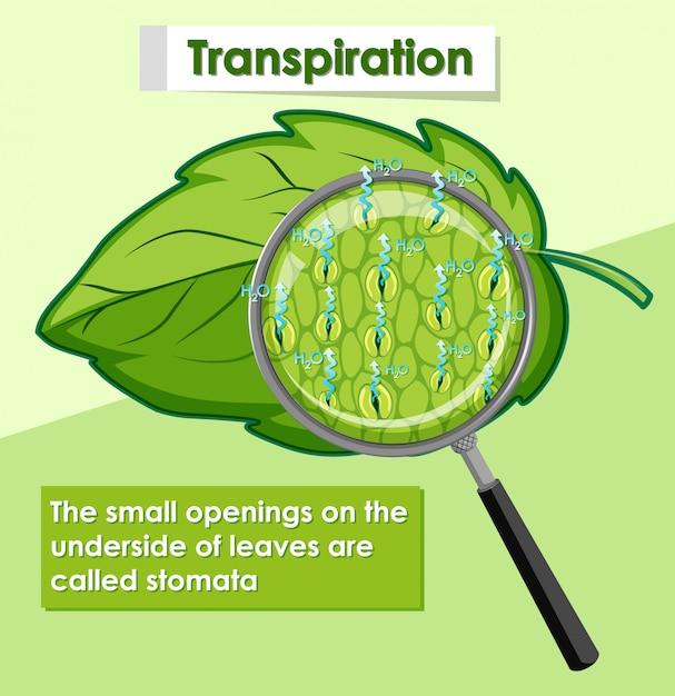 Diagram met transpiratie in planten Gratis Vector