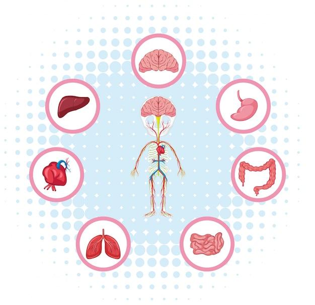 Diagram met verschillende delen van het lichaam Premium Vector