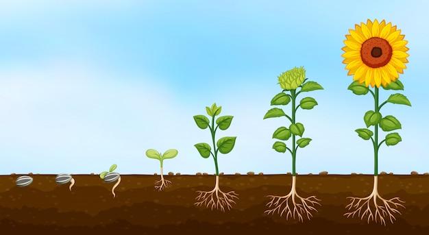 Diagram van groeifasen van planten Gratis Vector