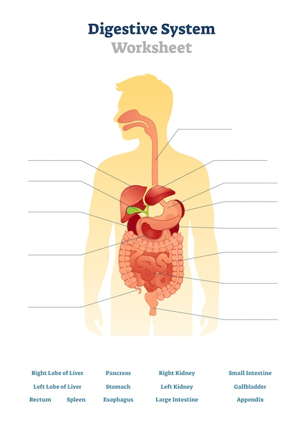Digestive systeem werkblad illustratie Premium Vector