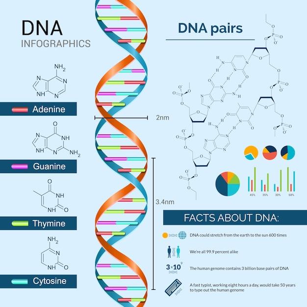 Dna infographics set Gratis Vector