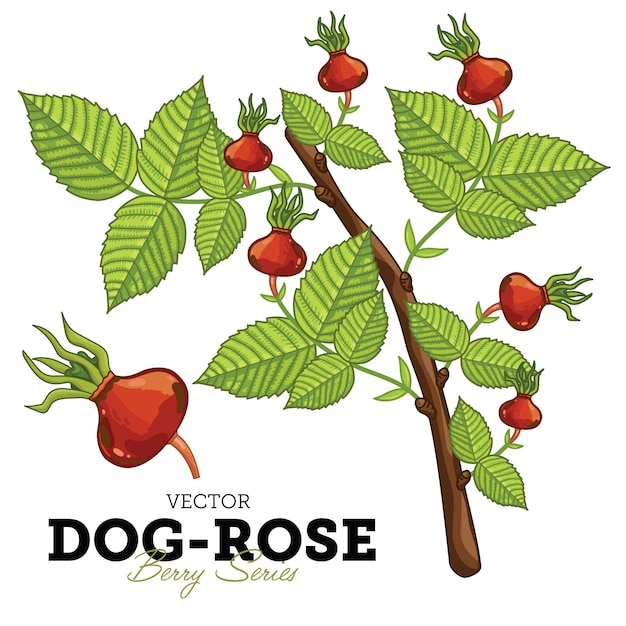 Dog-rose set Premium Vector