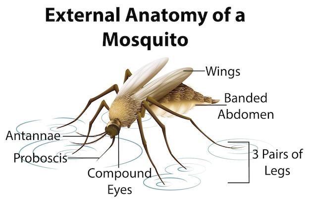 Externe anatomie van een mug op witte achtergrond Gratis Vector