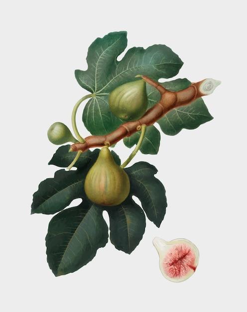 Fig van de illustratie van pomona italiana Gratis Vector