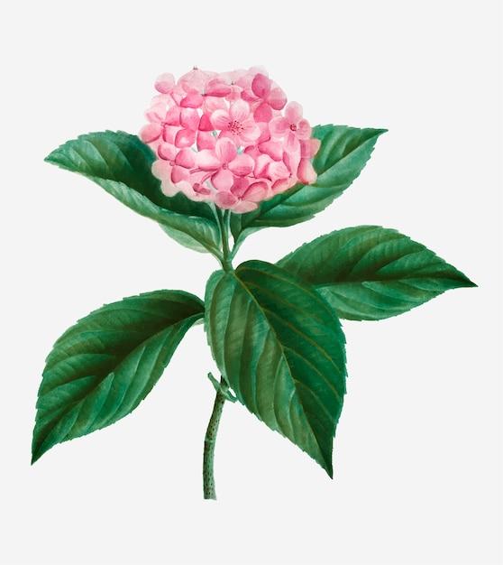 Franse hortensia Gratis Vector