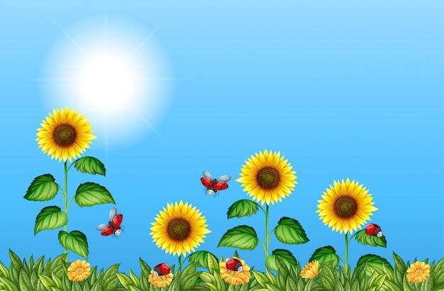 Gebied van zonnebloemen met lieveheersbeestjes Gratis Vector