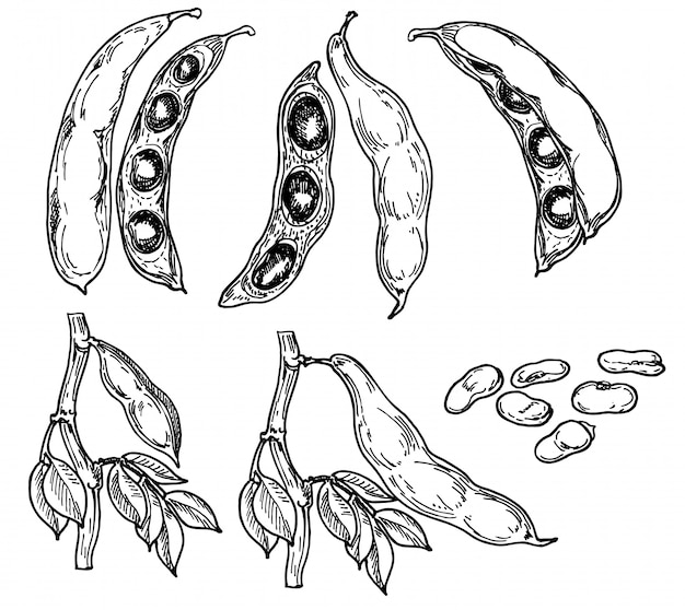 Gedetailleerde hand getekend zwart-wit afbeelding set snijboon, blad. schetsen. peulvruchten. Premium Vector