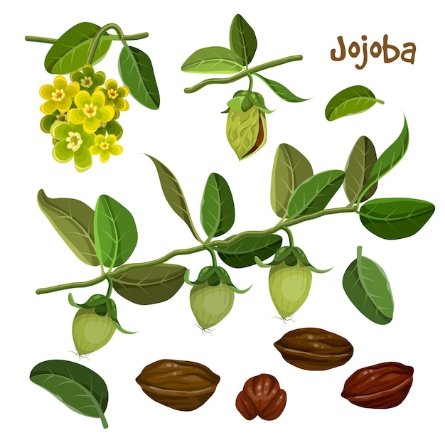 Gedetailleerde jojoba-elementenverzameling Gratis Vector