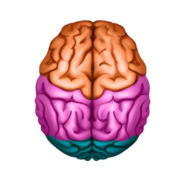 Gekleurd menselijk brein onderverdeeld in gebieden bovenaanzicht close-up Premium Vector