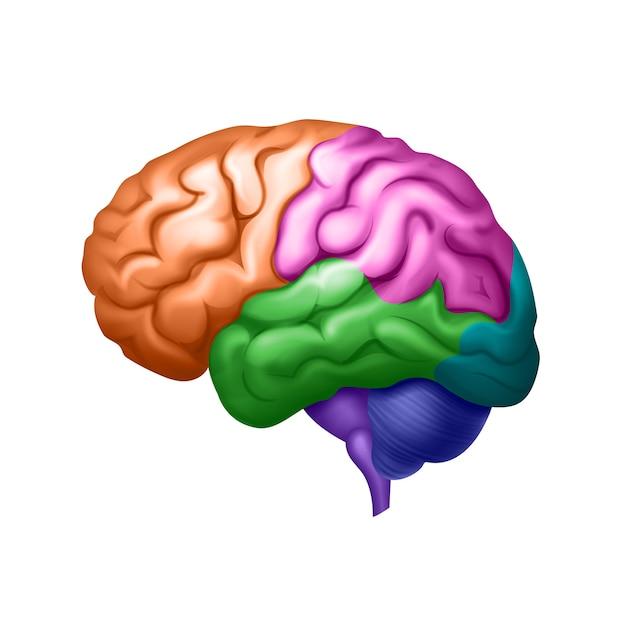 Gekleurde menselijke hersenen verdeeld in gebieden zijaanzicht close-up Premium Vector