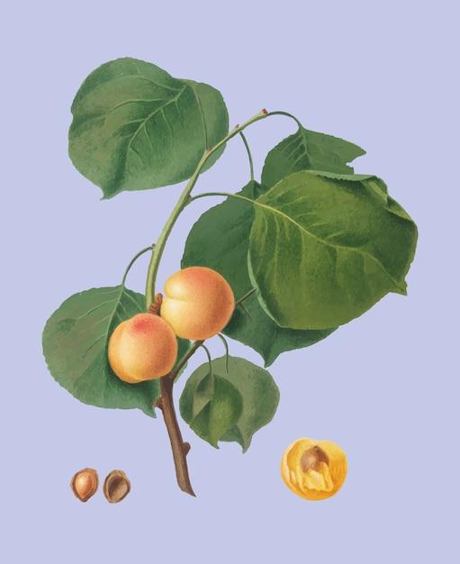 Gele abrikoos van de illustratie van pomona italiana Gratis Vector