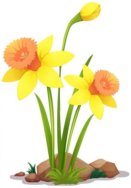 Gele gele narcisbloemen op wit Gratis Vector