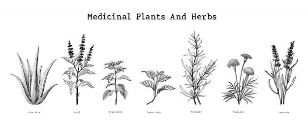Geneeskrachtige planten en kruiden hand tekenen vintage gravure illustratie Premium Vector