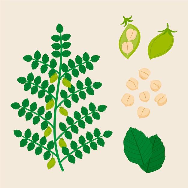 Getekende kikkererwtenbonen met plant Premium Vector