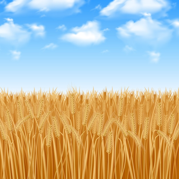Gouden gele tarweveld en zomer hemelachtergrond Gratis Vector