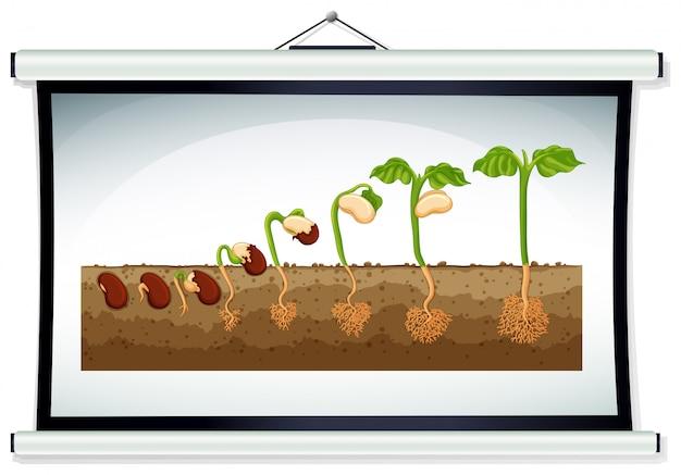 Grafiek die de groei van planten laat zien Gratis Vector