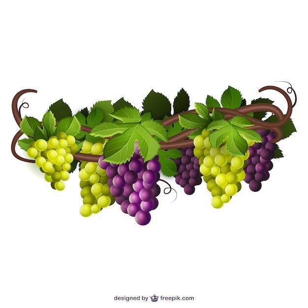 Groene en paarse druiven Gratis Vector