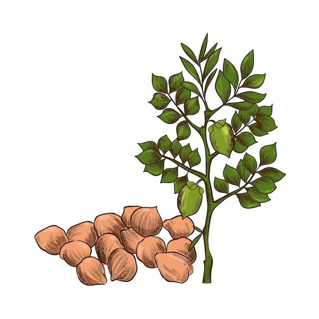 Hand getekend kikkererwten bonen en plant illustratie Gratis Vector