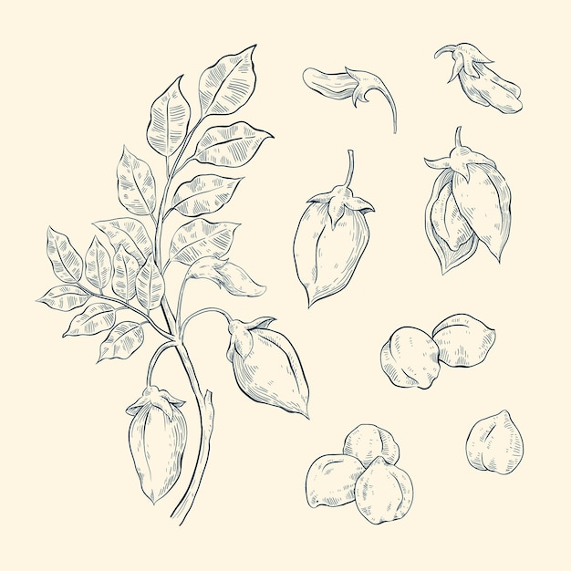 Hand getekend kikkererwten bonen met plant Gratis Vector