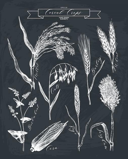 Hand getekende landbouwgewassen schetsen. hand geschetste granen en peulvruchten planten collectie op schoolbord Premium Vector