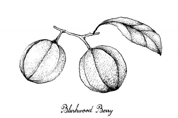 Hand getrokken van blushwood-bessen op witte achtergrond Premium Vector