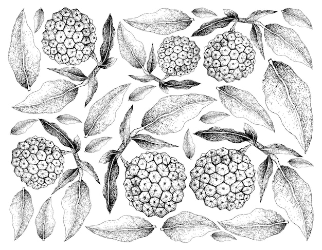 Hand getrokken van pindaiva fruit op witte achtergrond Premium Vector