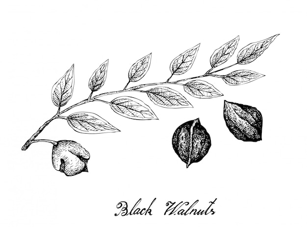 Hand getrokken van zwarte walnoten op een tak Premium Vector