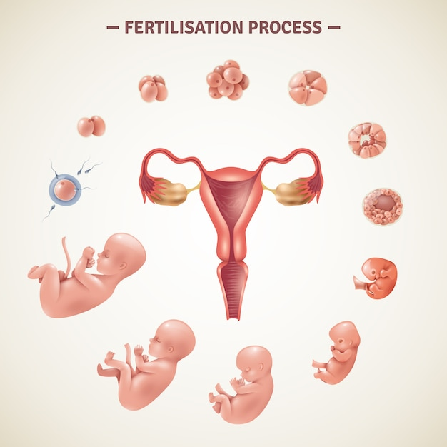 Human fertilization process poster Gratis Vector