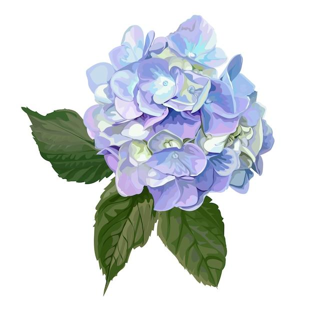 Hydrangea hortensiabloem op wit Premium Vector