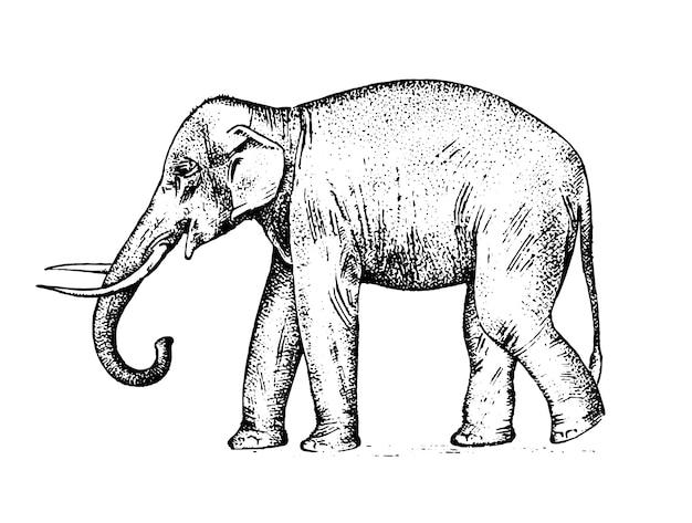 Indische olifant. wild dier in warm land. gegraveerde hand getekend realistisch in oude schets, vintage stijl. Premium Vector