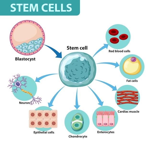 Informatieposter over menselijke cellen Gratis Vector