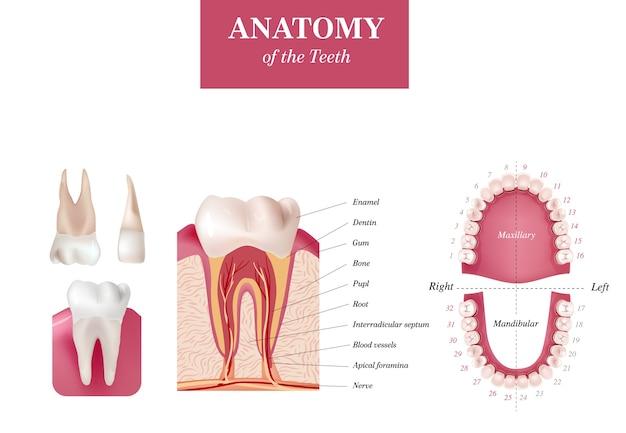 Internationale tandnummeringstabel voor volwassenen. universeel nummeringssysteem. anatomie van de tanden Premium Vector